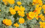 Эшшольция — простые правила выращивания