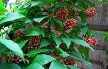 Клубневая глициния, или Апиос — декоративная и полезная лиана