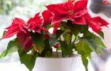 7 лучших зимнецветущих комнатных растений