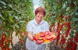 Самые устойчивые к болезням томаты от Агрохолдинга «ПОИСК»