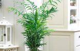 Хамедорея — лучшая пальма для размещения внутри комнат