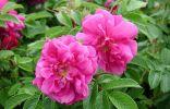 Продается Роза «Ханса» (шиповник Hansa)