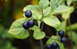 Сараха съедобная — экзотические «помидорчики» со вкусом винограда