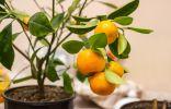 Комнатный каламондин — самый плодовитый среди цитрусовых