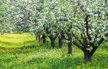 Зачем и как отгибать ветки плодовых деревьев?