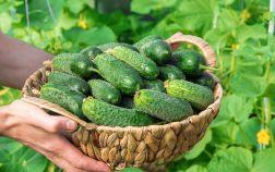 Свои огурцы — как выращивать и использовать для максимальной пользы?