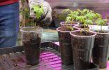 Рассада томатов — пикируем и рассаживаем правильно