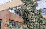 Опознать хвойное растение в центре города