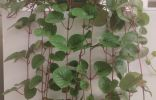 Помогите опознать растение 🌱