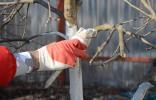 Как ухаживать за яблоней весной: советы по обрезке и побелке
