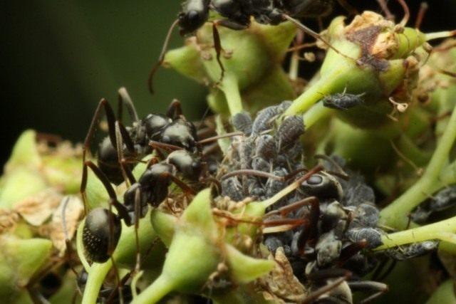 Муравьи, охраняющие колонию тлей