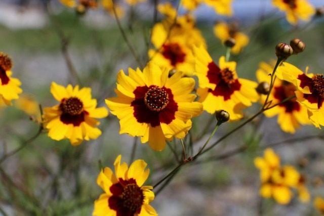 Кореопсис красильный (Coreopsis tinctoria)