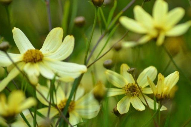 "Кореопсиса мутовчатый, сорт ""Мунбим"" (Coreopsis verticillata 'Moonbeam')"