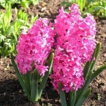 """Гиацинт восточный """"Ред Меджик"""" (Hyacinthus orientalis 'Red Magic')"""