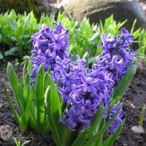 """Гиацинт восточный """"Атлантик"""" (Hyacinthus orientalis 'Atlantic')"""