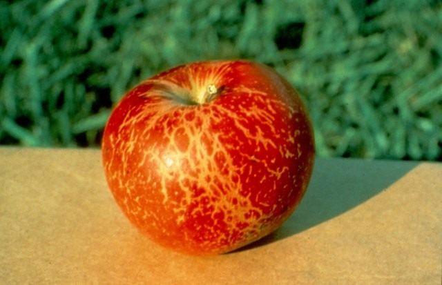 Побурение яблока из-за мучнистой росы