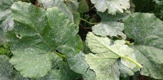 Мучнистая роса на листьях тыквы