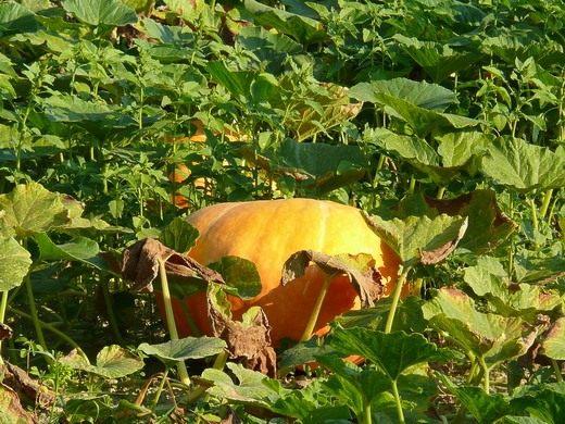 Тыква (Pumpkin)