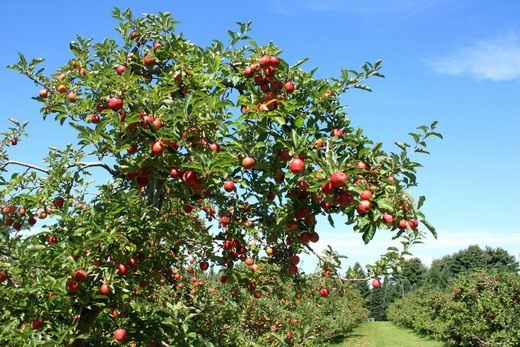 Яблоня (Apple tree)