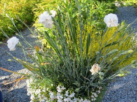 Гвоздика садовая