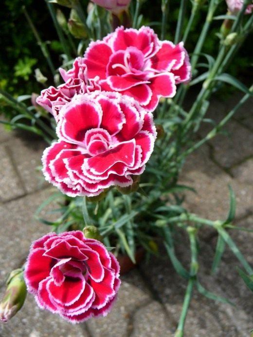 Гвоздика садовая, или Гвоздика голландская