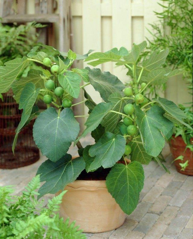Инжир, Фига, или Фиговое дерево, или Смоковница обыкновенная