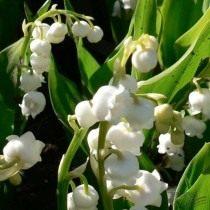Ландыш майский 'Grandiflora'