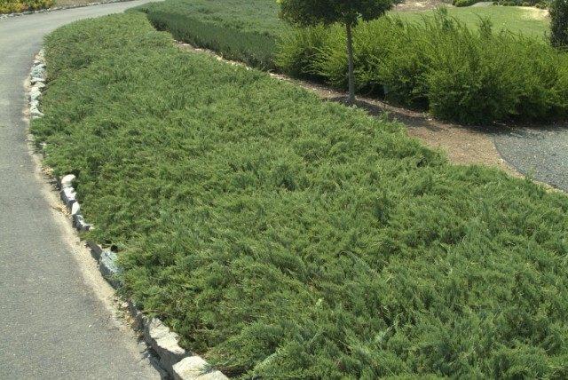 Можжевельник горизонтальный «Хьюгес» (Juniperus horizontalis 'Hughes')
