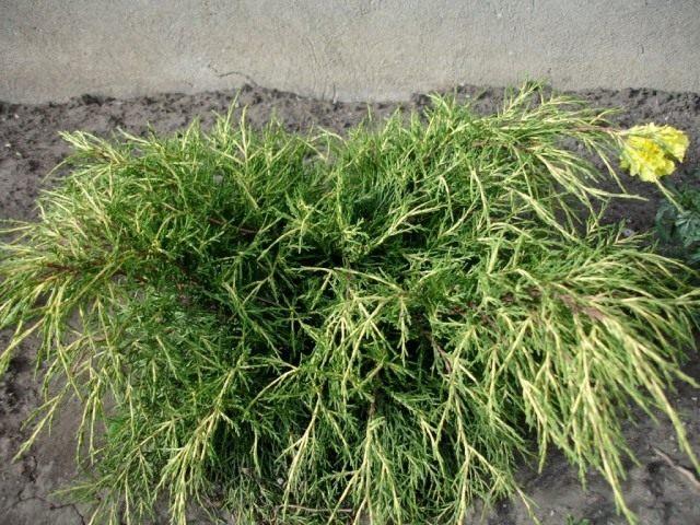Можжевельник средний «Голд Кост» (Juniperus x. media 'Gold Coast')