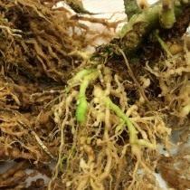 Признаки поражения томата корневой нематодой
