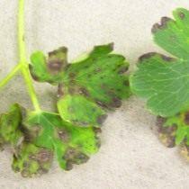 Признаки поражения нематодой на листьях растения
