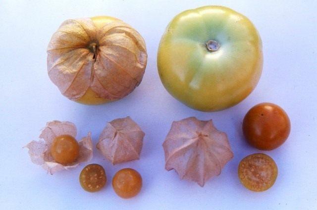 Плоды физалиса. Сверху Физалис овощной, снизу ягодный
