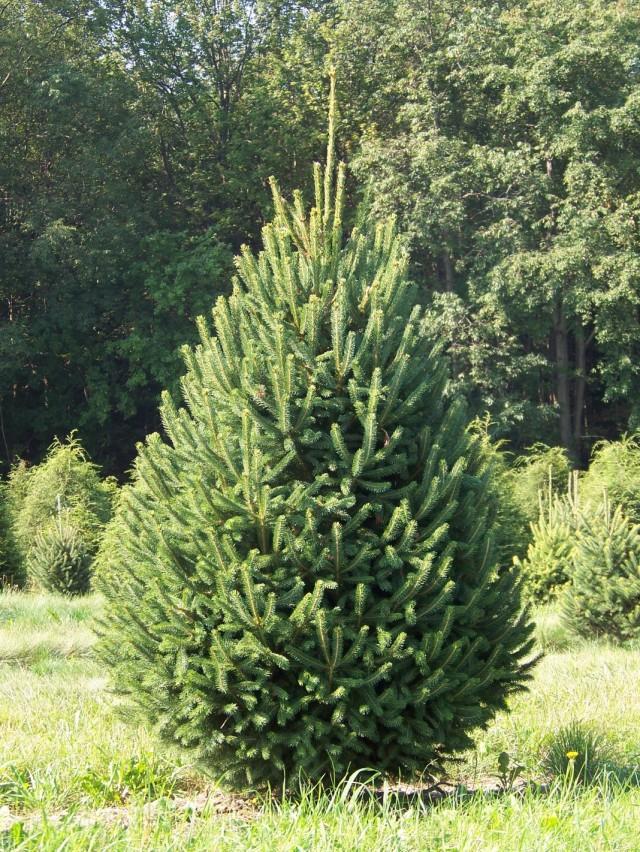 Eль сизая, также Ель канадская, или Ель белая (Picea glauca)