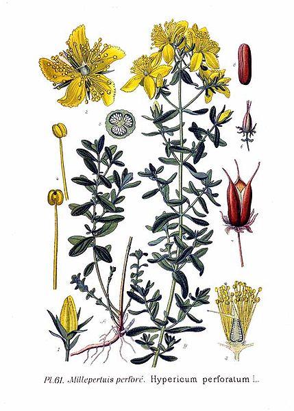 Зверобой продырявленный, или Зверобой обыкновенный. Ботаническая иллюстрация.