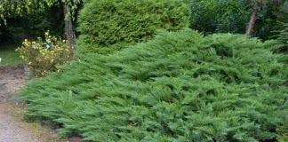 Можжевельник казацкий «Тамарисцифолиа» (Juniperus sabina 'Tamariscifolia')