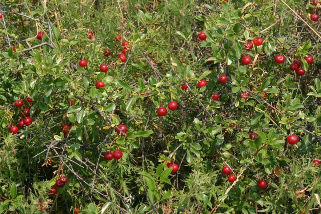 Вишня степная (Prunus fruticosa)