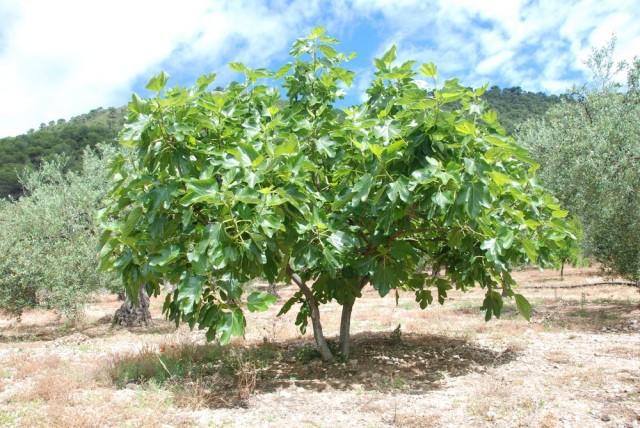 Инжир, или Фиговое дерево в естественных условиях произрастания