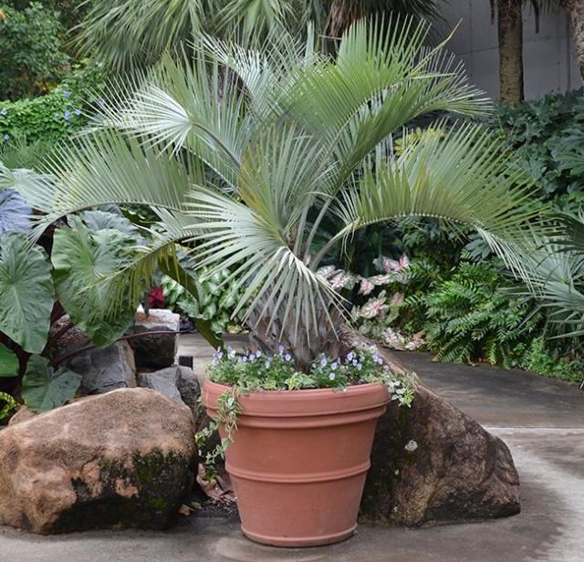 Пальма Бутия (Butia capitata)