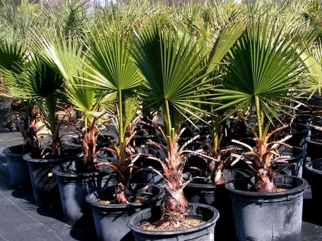 Пальма Вашингтония филифера (Washingtonia filifera)