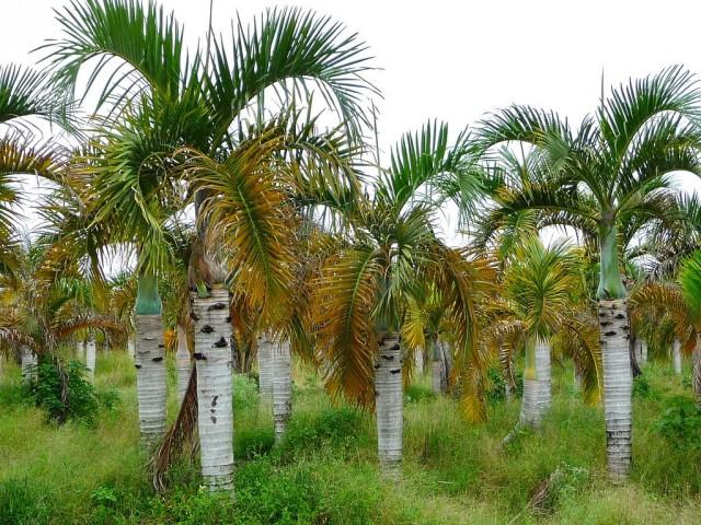 Пальма Гиофорба (Hyophorbe verschaffeltii)