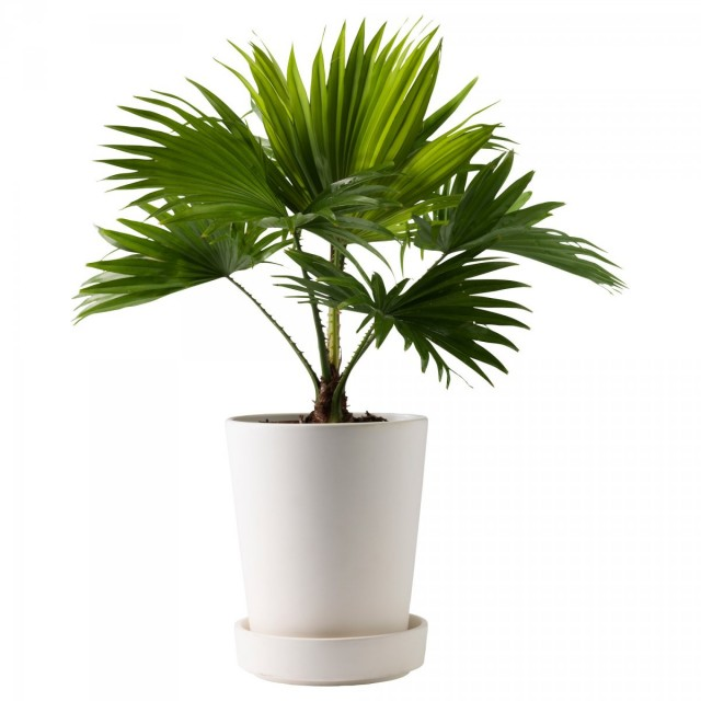Пальма Ливистона (Livistona)
