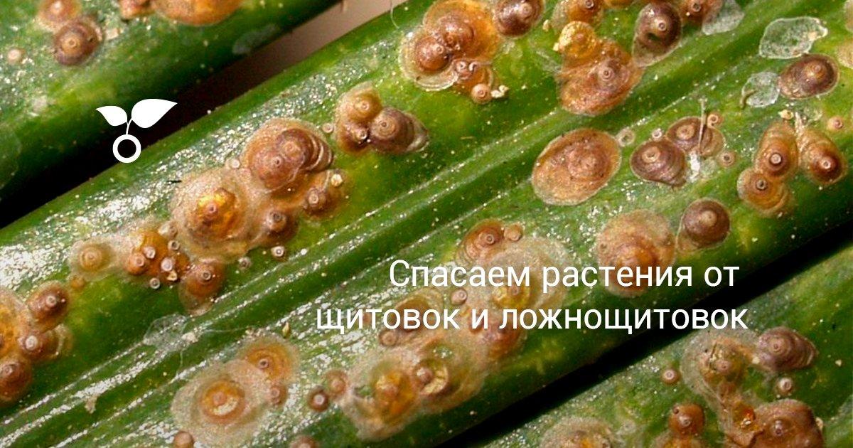 Как вылечить цветы от щитовки