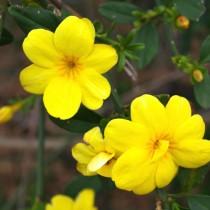 Жасмин первоцветный (Jasminum primulinum)