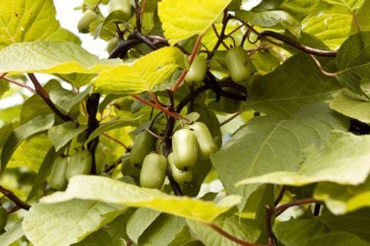 Плоды Актинидии коломикта