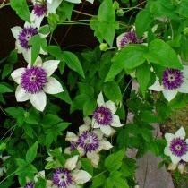 Клематис цветистый, сорт Зибольда - 'Sieboldii' (Clematis florida)