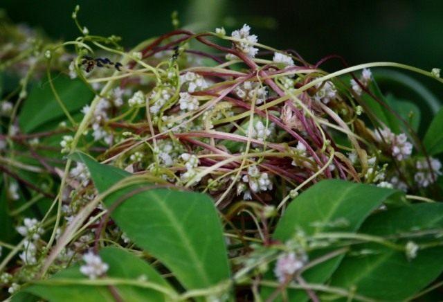 Повилика европейская (Cuscuta europaea)