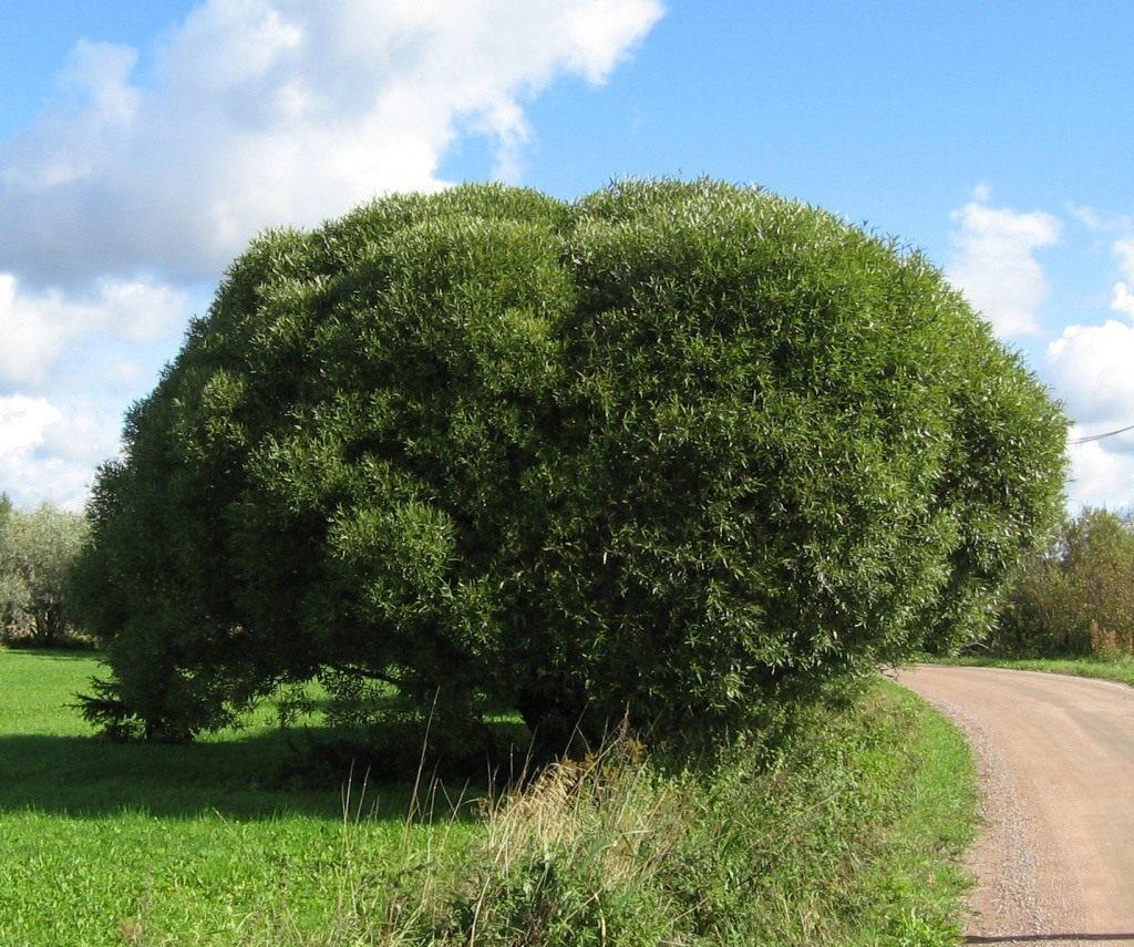 что ракита дерево фото как сажать ворота это надежная