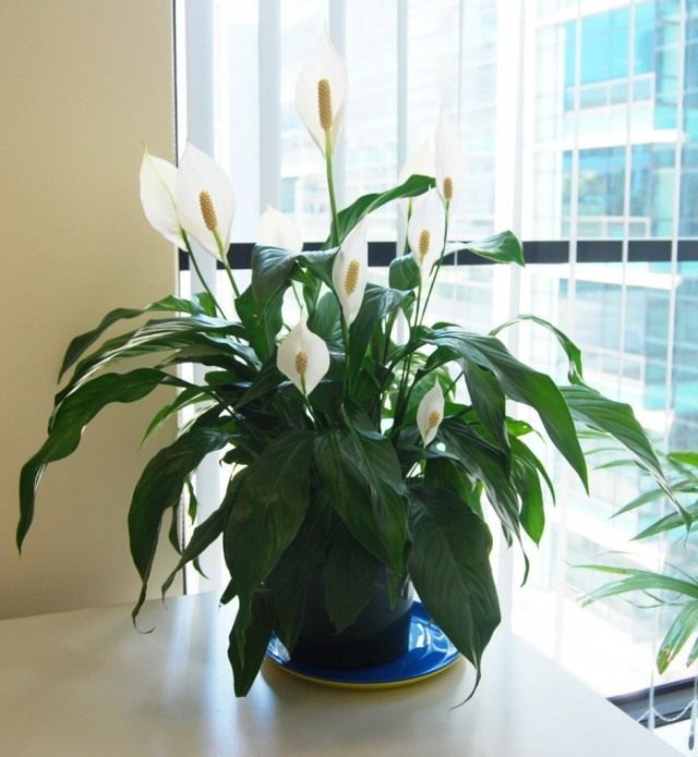 Спатифиллюм Уоллиса (Spathiphyllum wallisii)