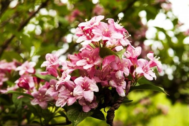 Вейгела цветущая (Weigela florida)