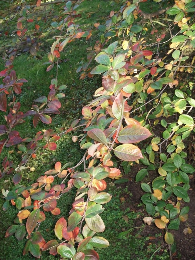 Черноплодная рябина (лат. Aronia melanocarpa)